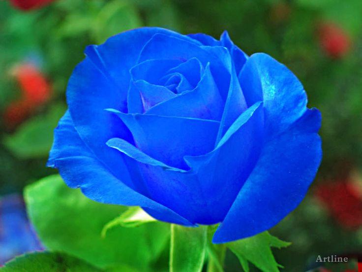 Blue Rose With Grreen Leaves Lovely