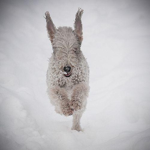 Bedlington Terrier by beddiz, via Flickr