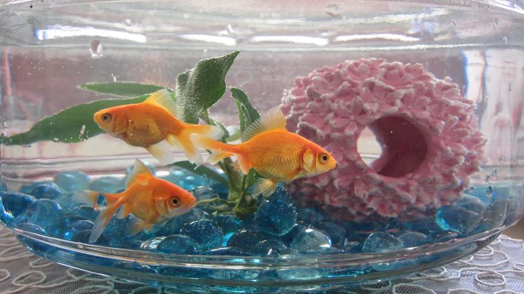 17 best images about fish on pinterest live plants for What fish can live with goldfish