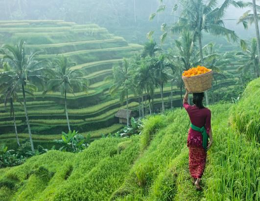 A woman in traditional clothing carries a basket of flowers along rice terraces in Ubud, Bali, Indonesia. Ubud is a town on the Indonesian island of Bali.