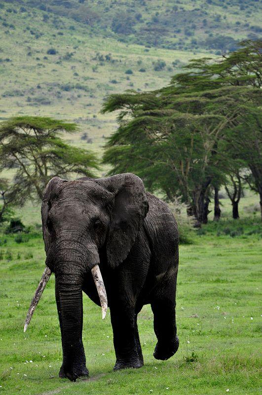 Male bull elephant, Ngorogoro Crater