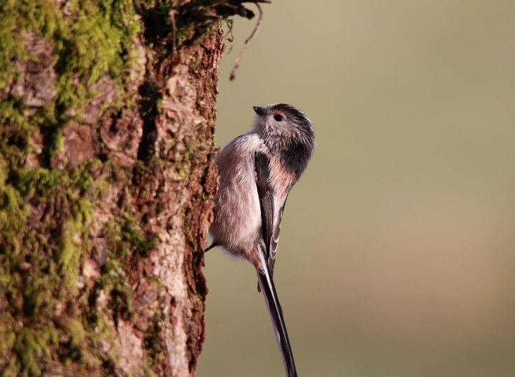 Mésange à longue queue (Aegithalos caudatus) à la recherche d'insectes sur un tronc