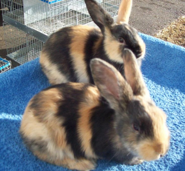 My favorite breed of rabbit the Harlequin =)