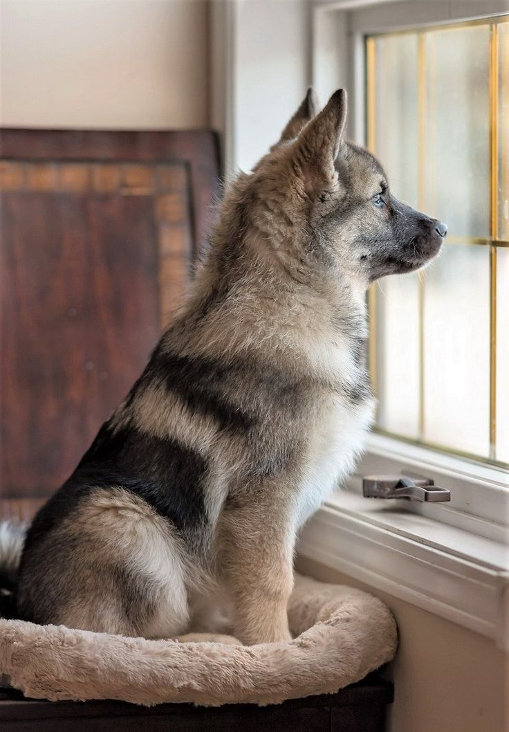 How can i get my norwegian elkhound to stop biting me