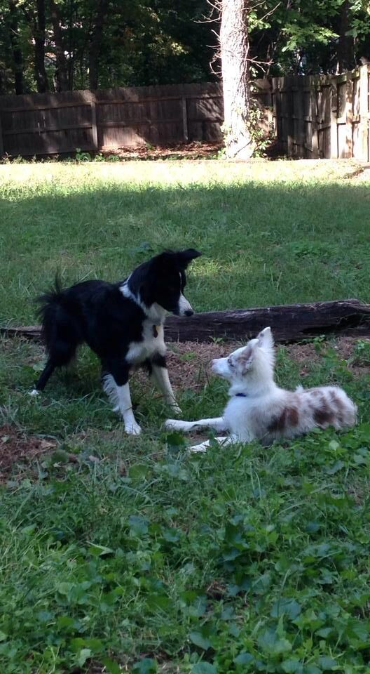 Kimber & Hoyt Traditional border collie & red merle border collie from LockEye Border Collies