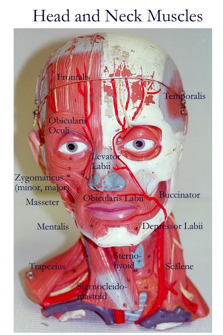 1000+ images about Neck Anatomy on Pinterest  Labeled Neck Movements