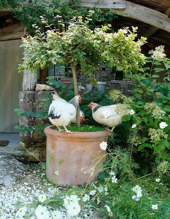 Great idea for inside the coop...tree in pot with chicken herbs at the base of the tree