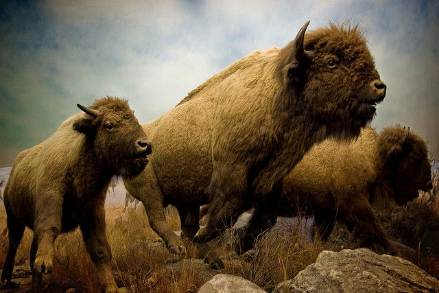 Running Buffalo at the Manitoba Museum in Winnipeg, Manitoba, Canada. Photo by jennifermmupton, via Flickr