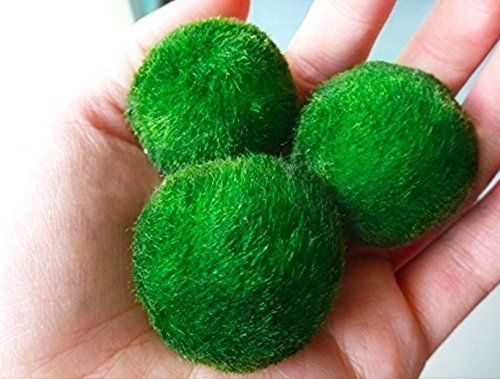 3 Giant Marimo Moss Ball Around 2 Inch  One Small Marimo >>> Want additional info? Click on the image.