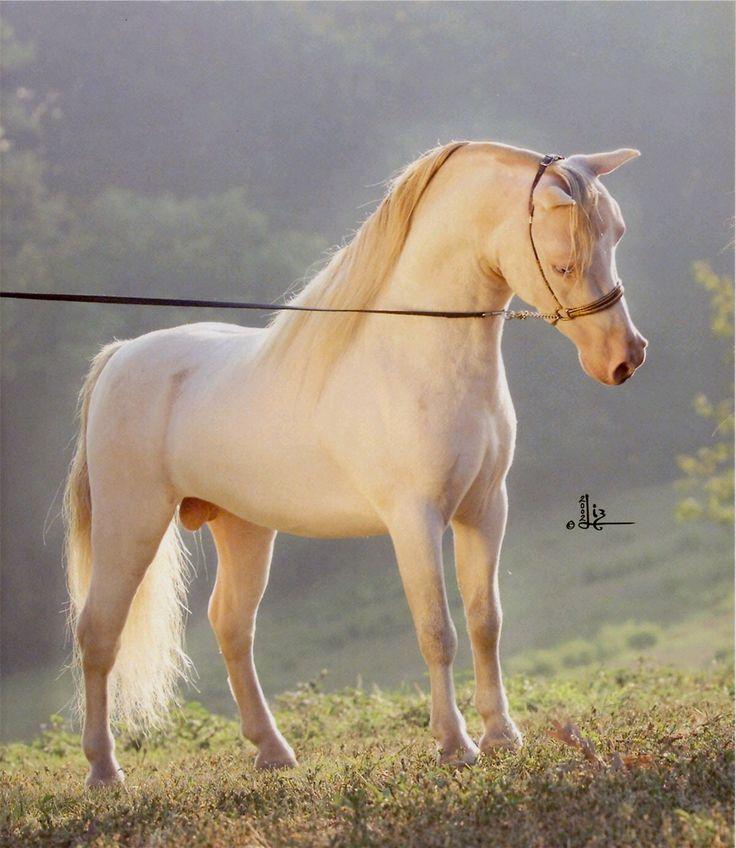 American Miniature Horses and British miniature horses at Donabi UK Supreme page