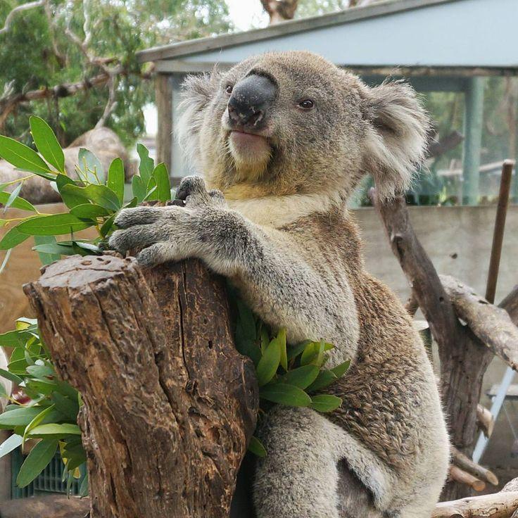 Hello #koala!   P.S. This superstar named Blue Gum   #tcdinaussie #australia