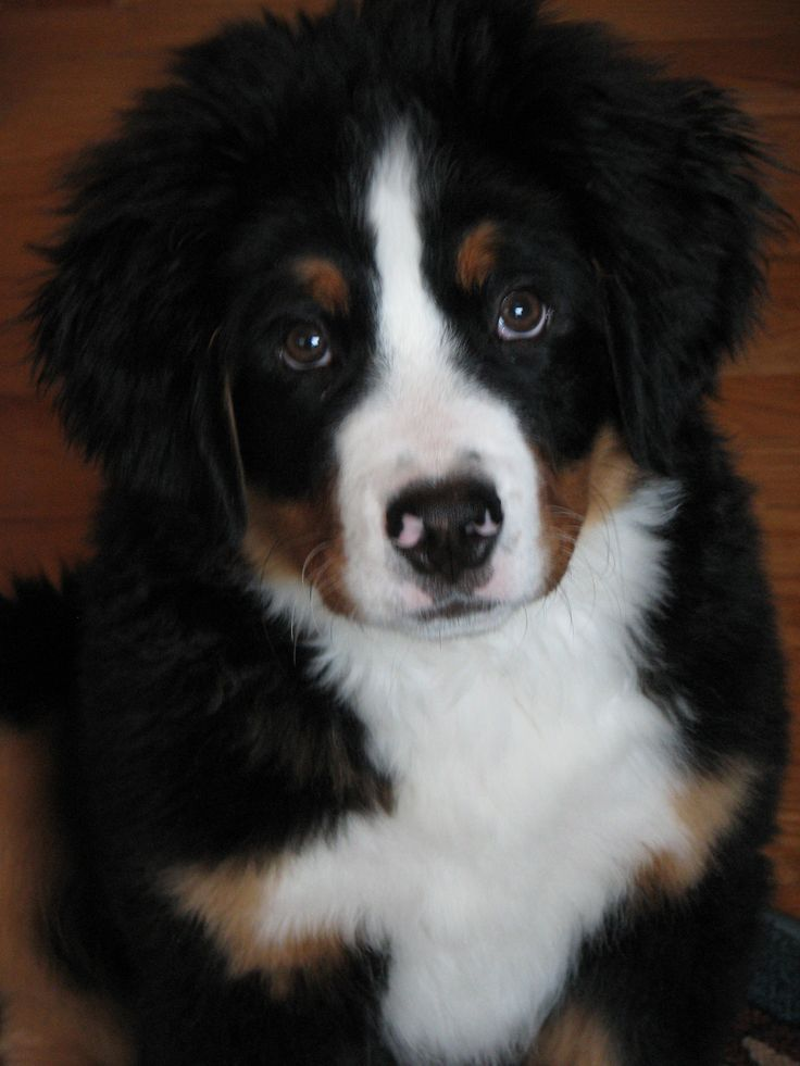 Bernese Mountain Dog pup