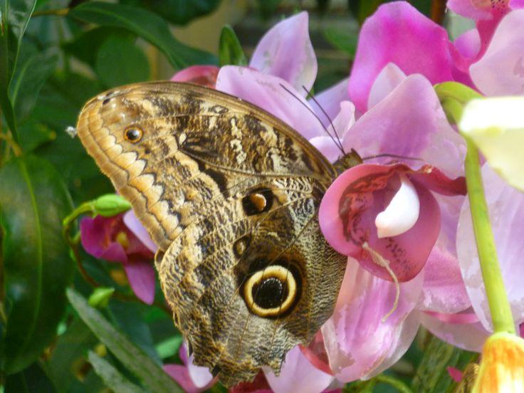 Pillangó szállt az orchideára. Butterfly landed the orchid.
