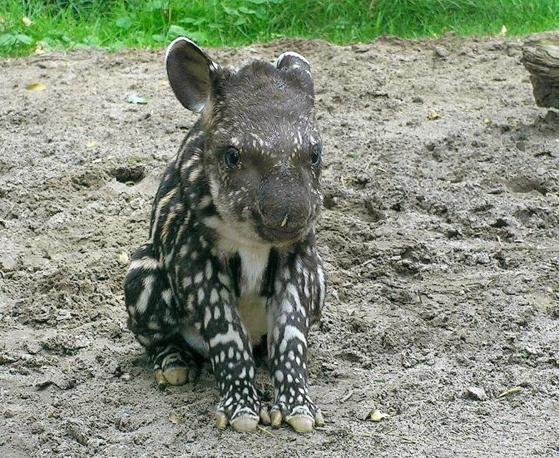 il cucciolo di tapiro Nando