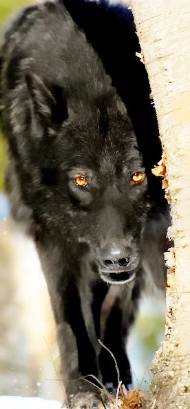 How Cool is this Picture?? The Photographer is very good!  Because on a Bright Sunny day, with Lighting and Angle   They Managed to Make this Black Wolf's Eyes Pop and the Focal point of the picture.  Now that is Good Photography!