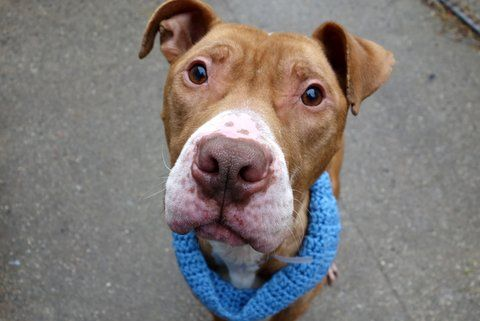 ZEKE - A1100734 - - Manhattan  TO BE DESTROYED 01/11/17: ****PUBLICLY ADOPTABLE**** A volunteer writes: The only thing I love more than Zeke's adorably freckled face is his sociable, eager-to-please personality. After sharing a delightful date that included sitting politely for treats and enjoying a wigglebutt-inducing back rub, my verdict is officially in…Zeke's a sweetheart! Emaciated yet still swooningly handsome, he has an eye for the ladies but is kee