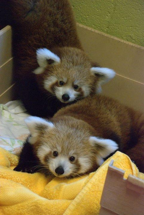 The sometimes forgotten panda