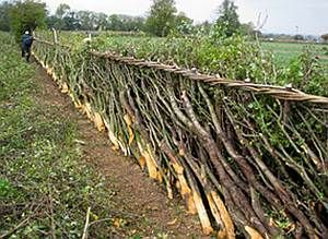 Hedge layed in Midlands Bullock style, National Hedge Laying Championships, Leics, October 07, Rob Wolton