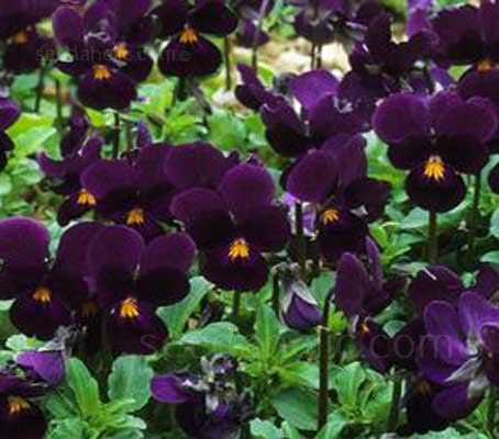 Viola 'King Henry' is a beautiful deep rich tone of purple. The face is lighter shade with a golden eye and deep purple whiskers.