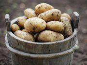 Cultivar patatas en una maceta