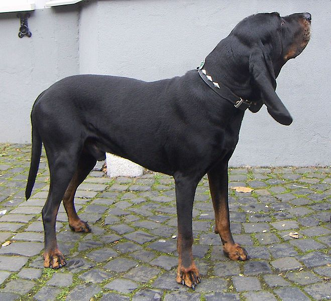 The Black and Tan Coonhound is gentle and tolerant with children, but it may be too independent to satisfy a playful child. Description from en.m.wikipedia.org. I searched for this on bing.com/images