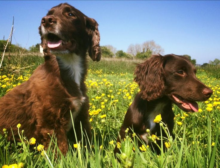 Sprocker dogs loving the sunshine