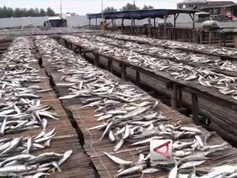 Melihat Cara Pembuatan Ikan Asin Di Muara Angke, Jakarta Utara - YouTube