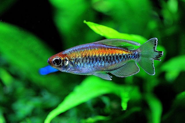 congo tetras | Congo Tetra | Flickr - Photo Sharing!