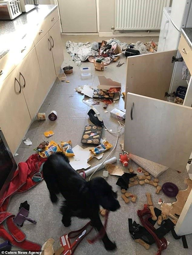 A Family Living In Warrington England Came Home From A Shopping Trip One Day To Find Their Kitchen Had Been Completely Trashed By A Ve Dog Face Dog Mess Dogs