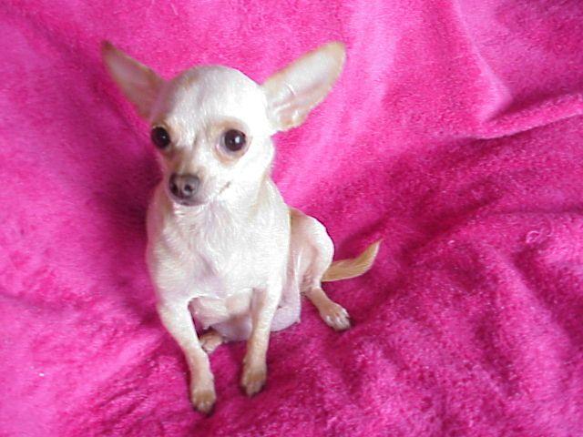 White Deer Head Chihuahua | AA - RECLASSIFY | Pinterest ...