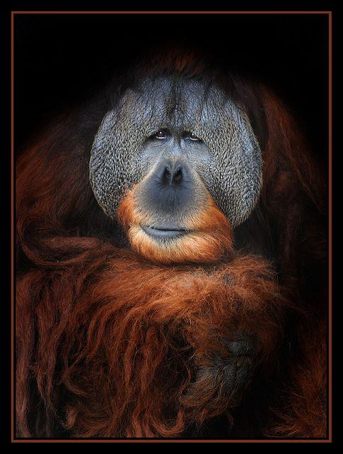 Sumatran King -- Orangutan