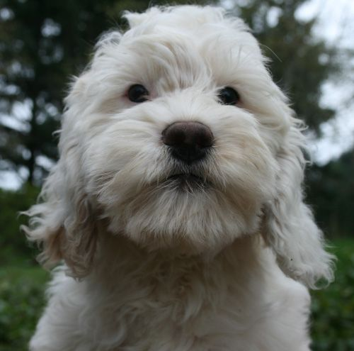 labradoodle, labradoodle puppies, labradoodle puppies for sale, medium labradoodle puppies, medium labradoodle