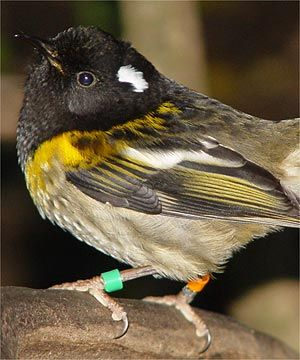 Stitchbird or Hihi, Notiomystis cincta, is a rare honeyeater-like bird endemic to the N Island & adjacent offshore islands of New Zealand