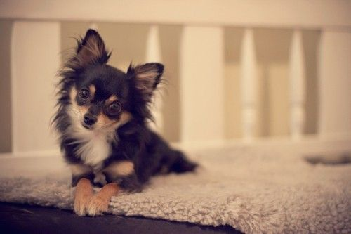 long-haired chihuahua. <3 i don't like the short-haired ones but this guy's…