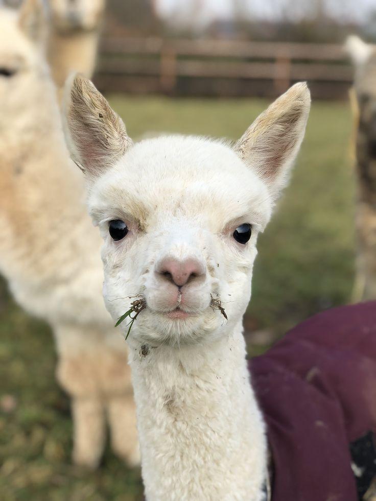 Süßes Alpaka von Abolengo de Alpaca, kuschelweich, flauschig, Alpaka Babys