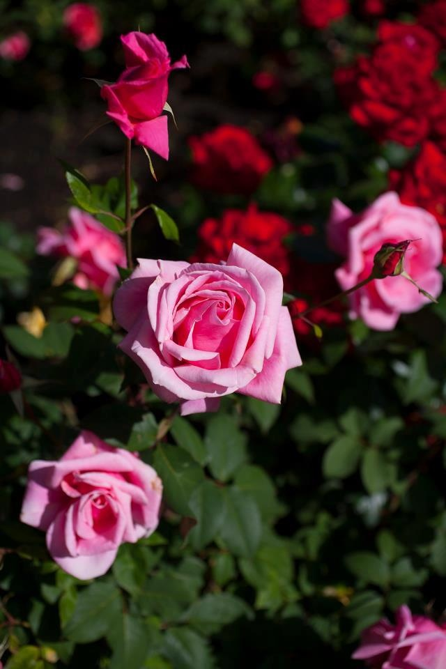 The roses are blooming on campus!