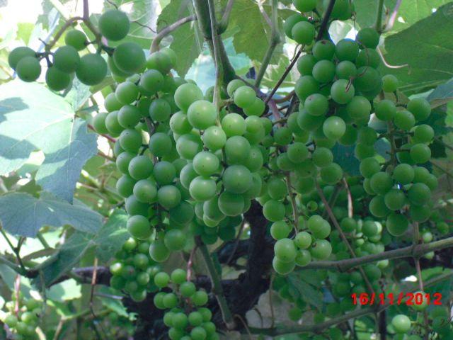 Uvas no parreiral em Gramado