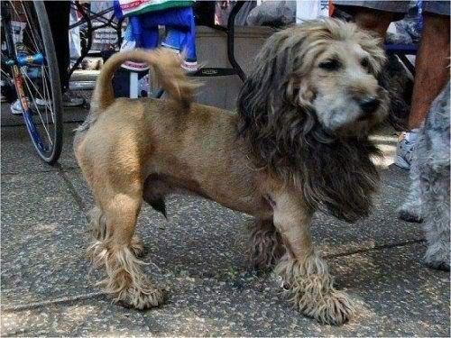 Lion Groomed Dog