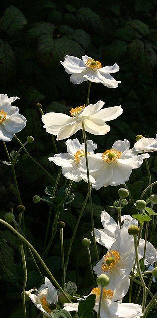 060314 wood anemone ~ 'Honorine Jobert' Windflower (Anemone 'Honorine Jobert')