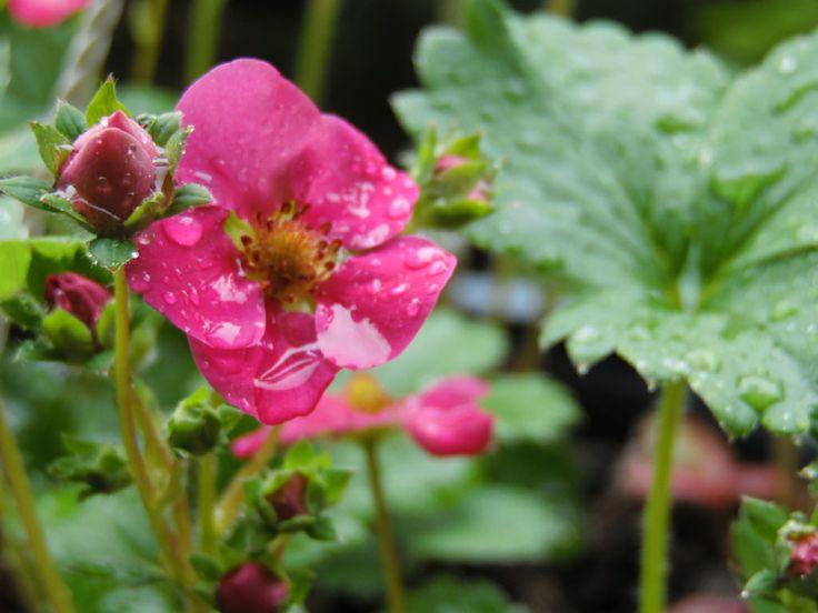 Strawberry's plant! Planta de Frutilla!