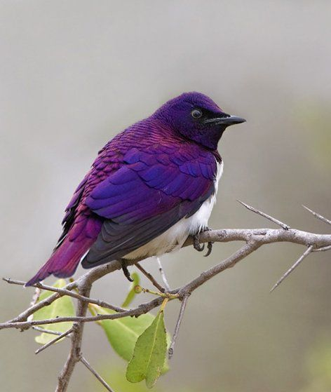 The Violet Backed Starling.
