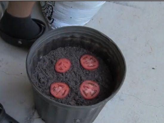 Mettre les tomates dans le terreau dans le pot