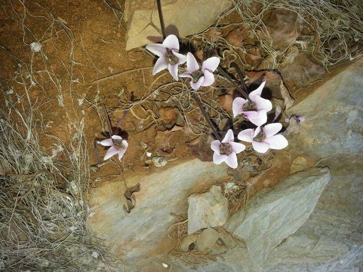 Cyclamen graecum ssp. candicum Κυκλάμινο του Χάνδακα