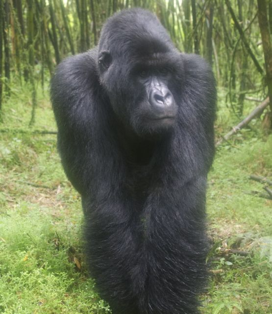 Meeting Mountain Gorillas in Rwanda.... SCARY but would love to.
