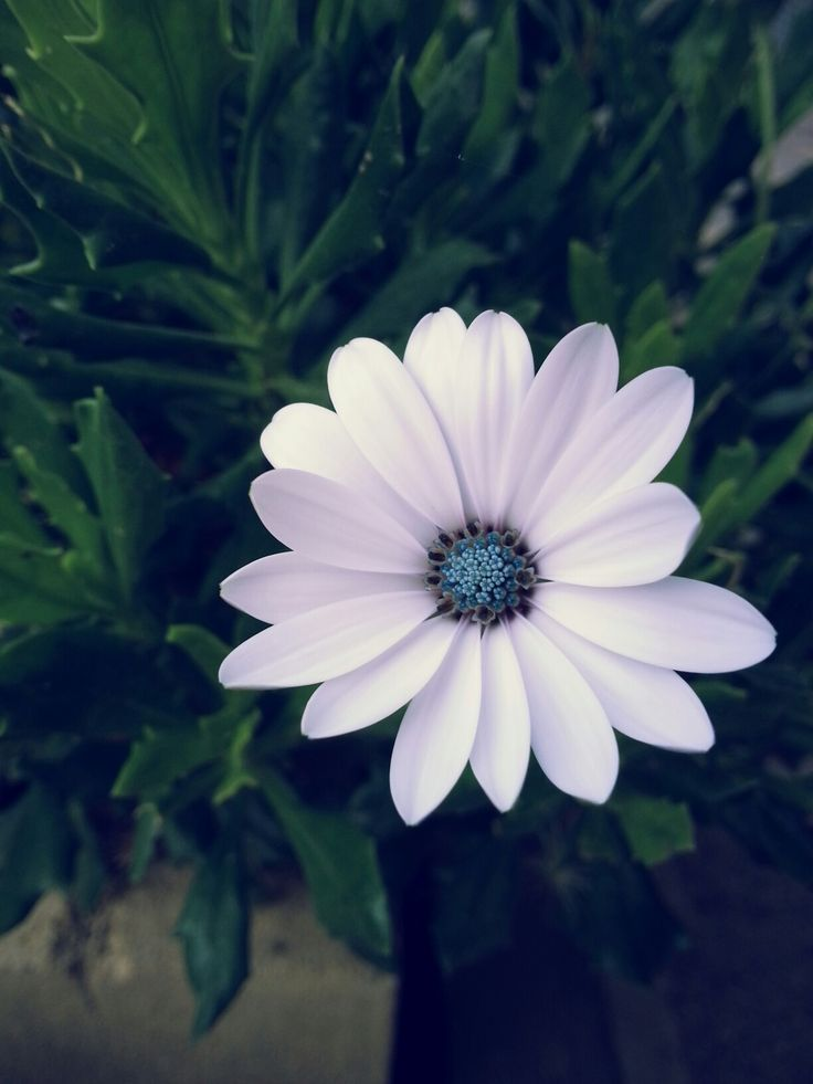Flower. Flower power. Flower porn. White. Blue. Love it.  Photo by me, AngelaRizzo.