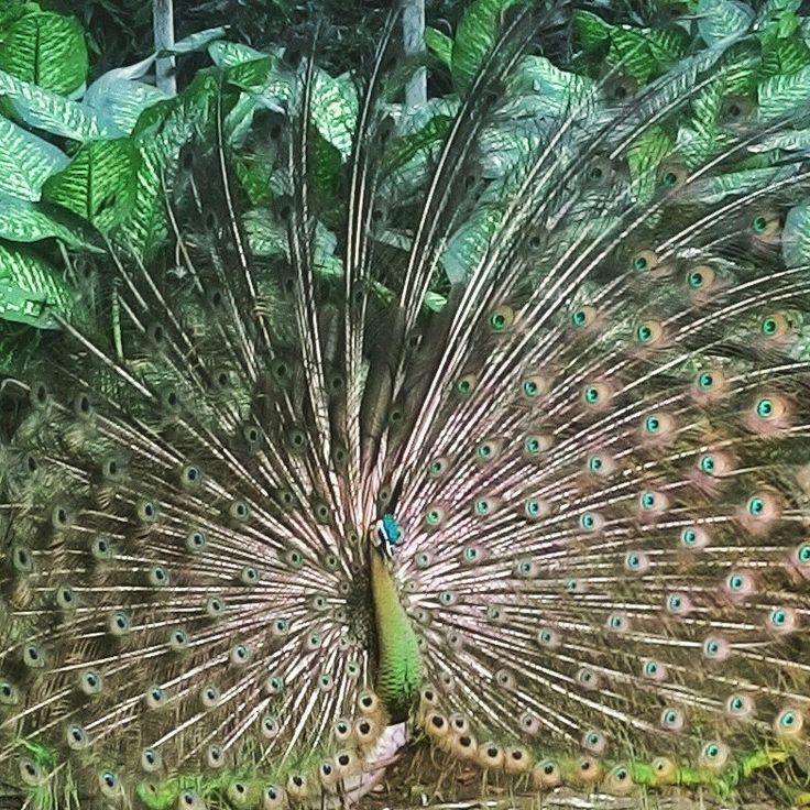 merak!!! #animal #peacock #bird #indonesia #rare