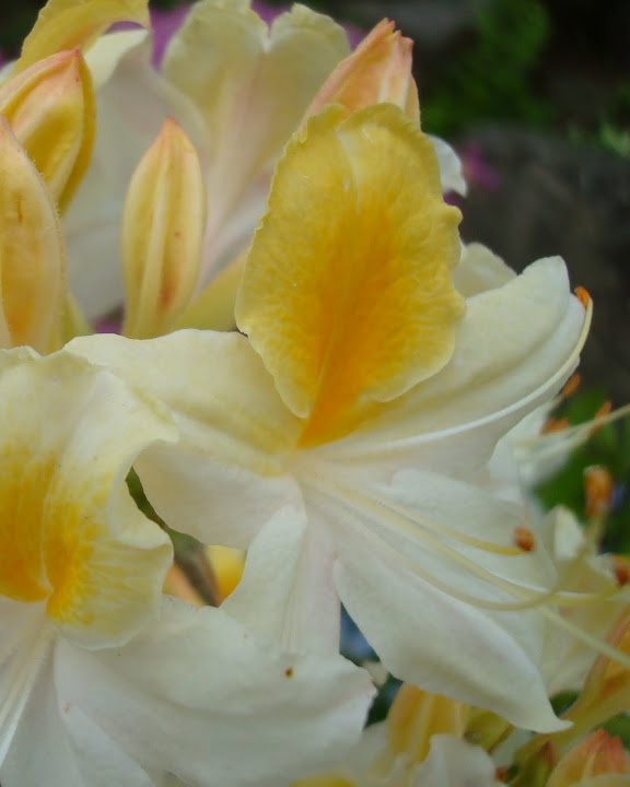 Anderson Japanese Gardens - stunning white & yellow rhododendron