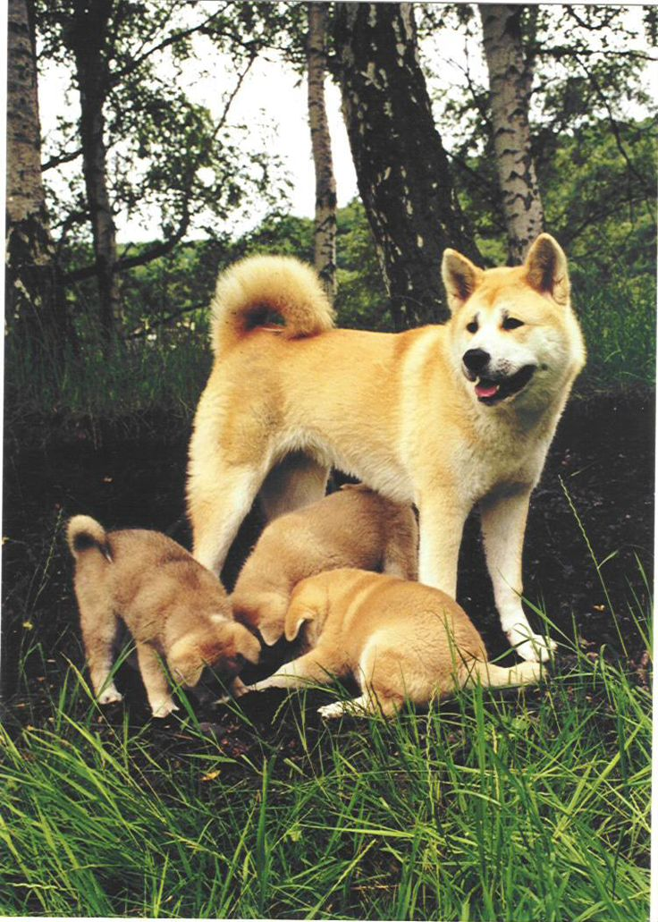 akita singles Akita basics with its bear-shaped head and curly tail, the akita is easy to pick out in a crowd a regal and elegant dog, the akita is a pleasure to look at, thanks in part to a.