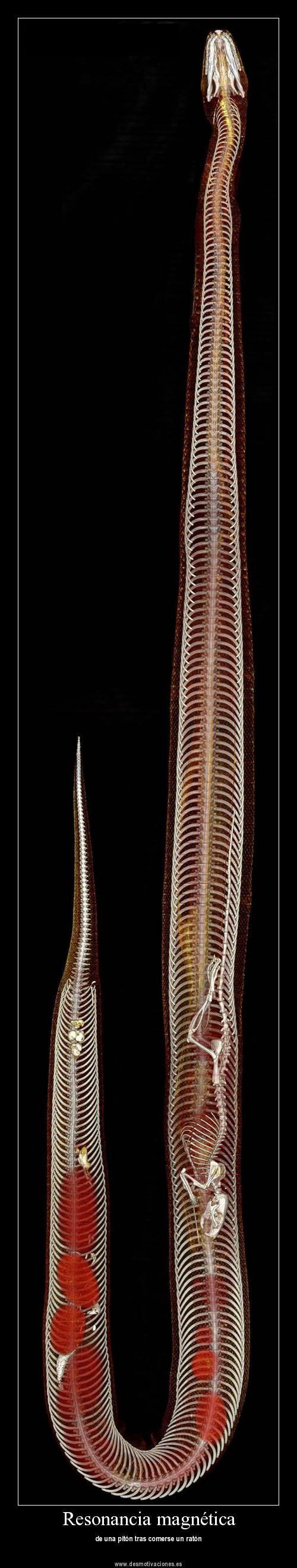 Usando una combinación de la tomografía computarizada y la resonancia magnética, los científicos Kasper Hansen y Henrik Lauridsen de la Universidad de Aarhus en Dinamarca fueron capaces de visualizar la totalidad de las estructuras de los órganos internos y los sistemas vasculares de un pitón de Birmania en la digestión de una rata.