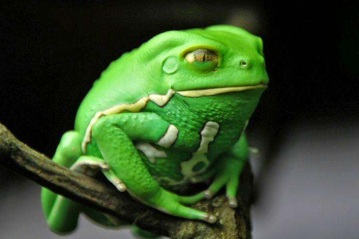 Biologia-Vida: Perereca macaco de cera / Waxy monkey leaf frog (Phyllomedusa sauvagii)